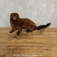 #20247 P | Mink Life-Size Taxidermy Mount For Sale
