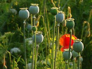 100Pcs Poppy Papaver Flower Seeds Rare Beautiful Decorative Home Garden Plants