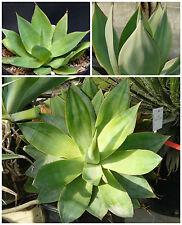 10 graines Agave mitis var. mitis, seeds succulents F