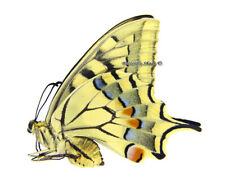 Unmounted Butterfly/Papilionidae - Papilio machaon syriacus, FEMALE, Armenia
