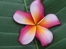 Plumeria ROOTED Plant Fragrant Flowers 'Candy Stripe' Tropical Exotic Live Plant