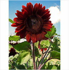 VELVET QUEEN SUNFLOWER  20 Seeds