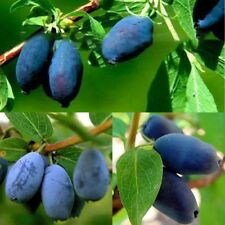 200PCS Lonicera Caerulea Fruit Seeds Home Garden Plants Chinese Blueberry Seeds