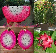EXTRA RARE Dragon Fruit Pitaya Pithaya 'Asunta 24' Hylocereus Hybrid! SEEDS.