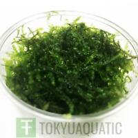 Vesicularia Sp Christmas Moss in Cup Freshwater Live Aquarium Plants Java Moss