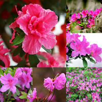 10Pcs Perennial Shrub Azalea Rhododendron Seeds Bonsai Flower Garden Plants Hot