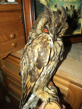 Long-eared OWL BIRD TAXIDERMY pre 1944 with document