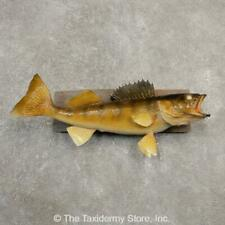 "#20561 E | 23.75"" Walleye Freshwater Taxidermy Fish Mount For Sale"
