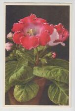 POSTCARD - plants & flowers #655 Sinningia Hybrida, Gloxinia