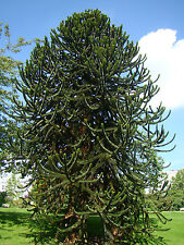 3x hardy conifer Monkey Puzzle Tree ARAUCARIA, evergreen, bonsai, conifer, fruit