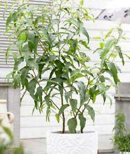LEMON EUCALYPTUS TREE 25 SEEDS AROMATIC MEDICINAL + Gift