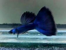 Pair of Ceylon Blue Guppy (Show, Livebearer)