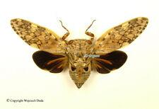 Platypleura arcuata, very nice, Spread
