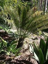Cycas ophiolitica    Australian native cycad