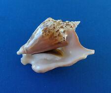 Coquillage : Strombus tricornis, Djibouti - 66,4 mm - NAIN / DWARF