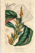 Stampa antica FIORI Columnea pilosa botanica 1847 Old antique print flowers