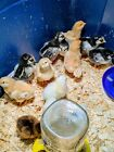 12+ Barnyard Special Hatching Eggs- Potential for Purebreds - NPIP Certified