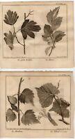 TWO 1748 Pluche Antique Engravings: TREE FOLIAGE ACER  ETC Botanical Print Decor