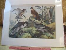 Vintage Print,HAWK,German Nat.History,19th Century,Matted
