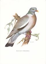 Planche 162 Histoire Naturelle Oiseaux : Pigeon Ramier