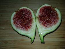 White Ichia Fig Tree Cuttings Rare Offer