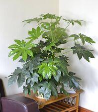 Indoor Plant -House or Office Plant -Japanese Aralia - Castor oil plant-45cms