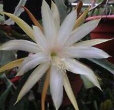 """STRICTUM """"300"""" Epiphyllum Collection No 300 large flowers cactus plant 80mm pot"""