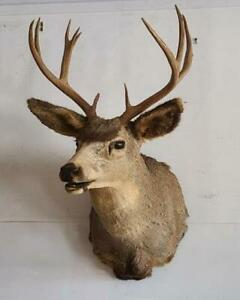 Deer Head Taxidermy Mount 10-Point Buck Trophy Mount Whitetail Shoulder Antler