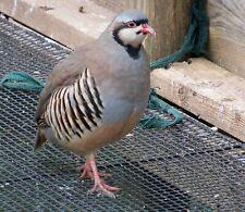 New Listing25 Chukar Partridge Eggs Npip And Ai Tested Clean