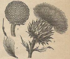 A4459 Carciofo - Incisione - Stampa Antica del 1887