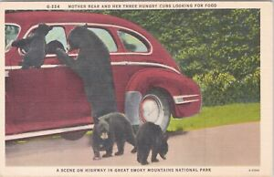 Linen postcard, mother bear and hungry cubs looking for food in old car