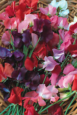 Sweet Pea - Knee High - 120 seeds - Annual