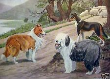 Collie Rough, Smooth And Old English Sheepdog Herding Dog 1919 Rare Art Print