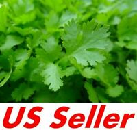 500 Seeds Giant Italian Flatleaf Parsley E176 Open Pollinated Organic-Non GMO