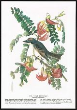 1930s Original Vintage Audubon Gray Kingbird King Bird Art Print