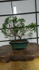 Japanese Shinpaku Bonsai Estimated 11 Years Old