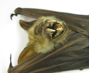 Natural dried Giant Bat Hipposideros diadema hanging  Horror Taxidermy