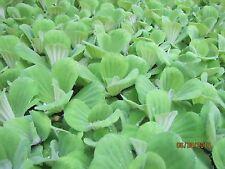 25+ Water Lettuce 100% Organic Floating Aquarium/Pond Plants  LICENSED Grower