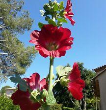 ☺100 graines de roses trémières rouge vif