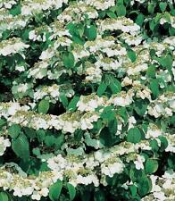 Onandaga Viburnum Seeds Autumn Colour Deciduous Shrub