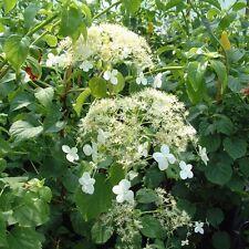 Hydrangea Petiolars Climbing Hydrangea  x 2 Plants