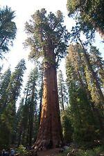 20 Giant Sequoia Tree Seeds- Sierra Redwood, Fresh Largest