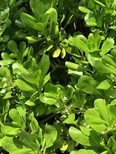 50+ Fresh Seeds Scaevola Sericea Beach Naupa Ships Free