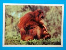 Figurina Panini-ANIMALI DI TUTTO IL MONDO 1965-n.37-ORANGO-rec