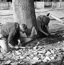 SUISSE c. 1959 - Bûcherons Sciage Arbre Sauvabelin - Négatif 6 x 6 - Sui 156