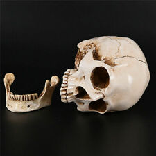 More details for realistic life size human skull head medical halloween decor decoration resin
