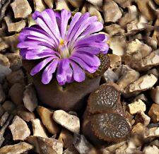 Opthalmophyllum Praesectum SB1525 (10 SEEDS) Succulent Samen Korn Graine Семена