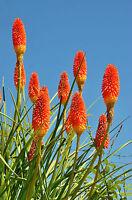 FACKELLILIE die feurige Schönheit für ihren Garten Blumenbeet und vieles mehr.