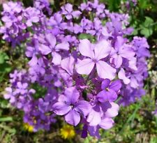Moneyplant Lunaria annua Flower Seeds 50 Seeds See other Photos