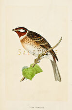 "Bree's ""Birds of Europe"" - ""PINE BUNTING"" - Hand Colored Lithograph - 1875"